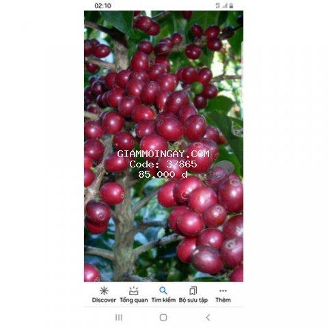 cà phê Sạch nguyên chất 100% tự nhiên. không chất bảo quản. không bắp không đậu nành. không hương liệu công nghiệp