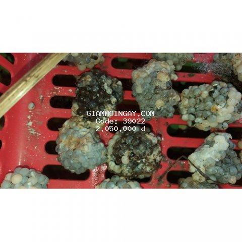 Trứng Ốc Bưu Đen Combo 100 Trứng Ốc Xám 10.000 con giống