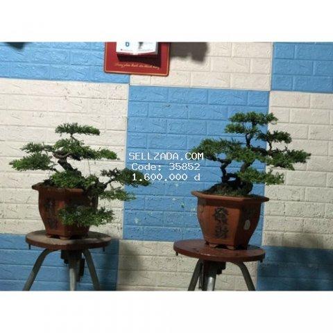 tùng cối bonsai